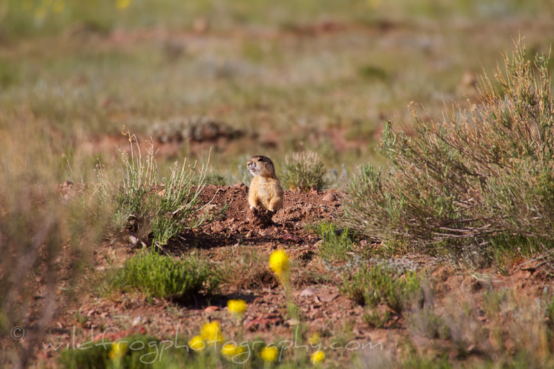 Prairie dog on lookout