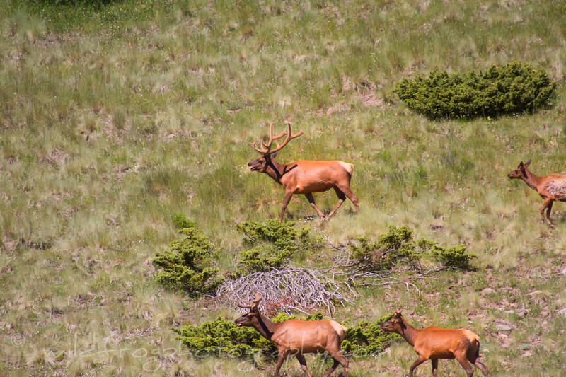 Bull elk on the move between Aspen Groves High in the Carson National Forest