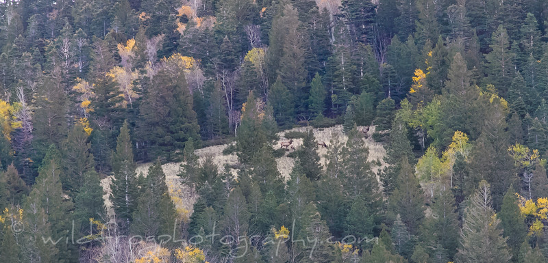 Elk feeding high up pn Broke Off Mountain