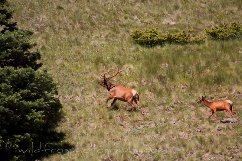 Big bull elk and cow taking to the trees
