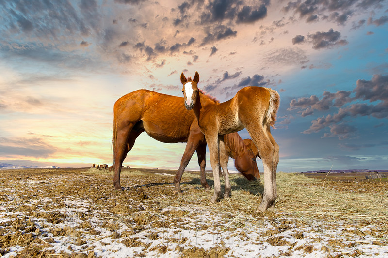 Foal and Mare at sunset