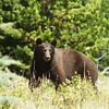Black Bear - West Glacier NP - Montana