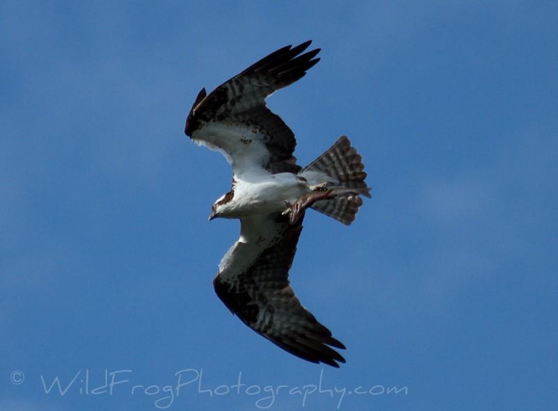 Osprey with fish,Montana
