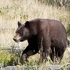 Black Bear - West Glacier National park