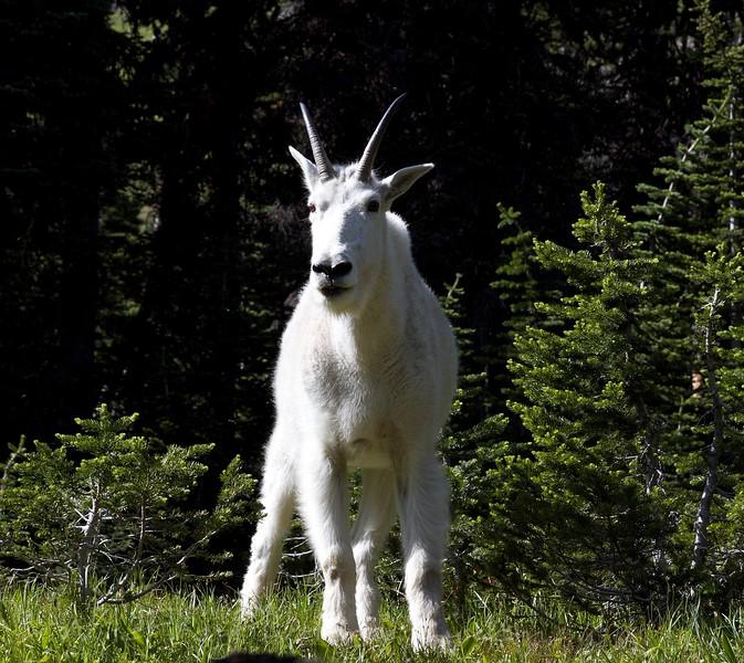 Mountain Goat, Hidden Lake,Glacier National Park