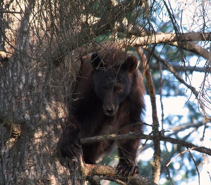 Black bear mother,Montana