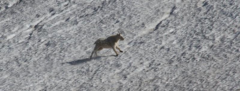 Mountain goat - Glacier National park