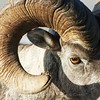 Big Horn Sheep,Glacier National Park