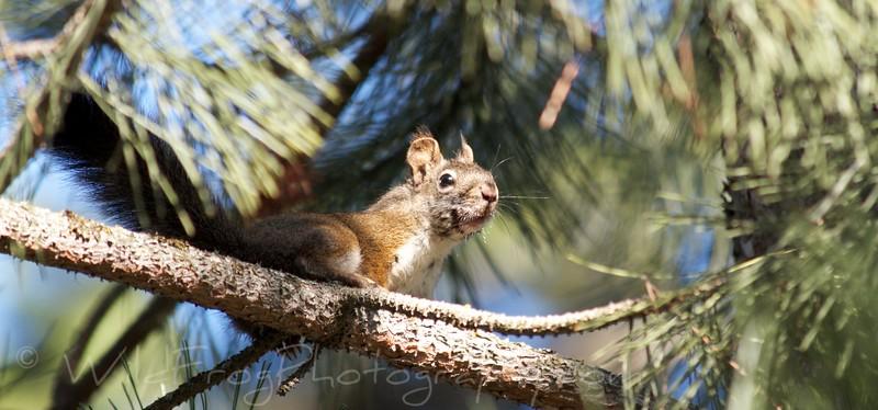 Squirrel,Glacier National Park
