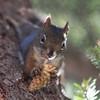 Squirrel, Many glacier