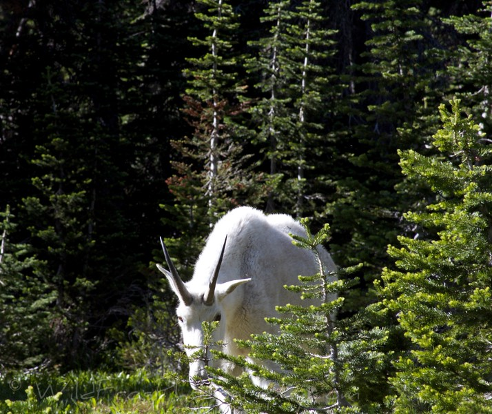 Mountain Goat, Hidden Lake Glacier National Park