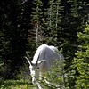 Mountain Goat, Hidden Lake Glacier National Park