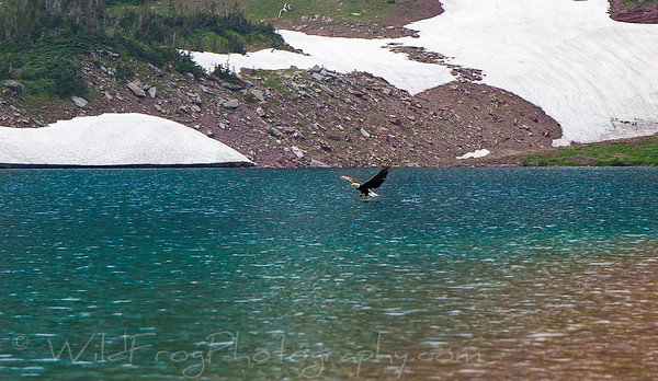 Bald eagle - Glacier National Park, Montana