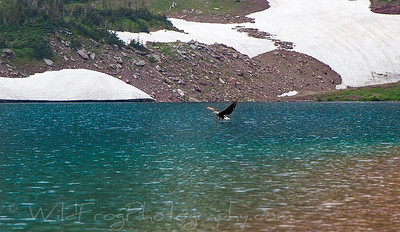 Bald eagle - Glacier National Park, Montana