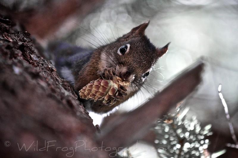 Squirrel, Many glacier - Glacier national park