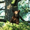 Black Bear Cub Up a Tree - Flathead lake - Montana