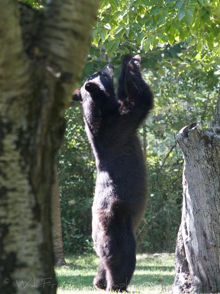 Black bear Cherry picking