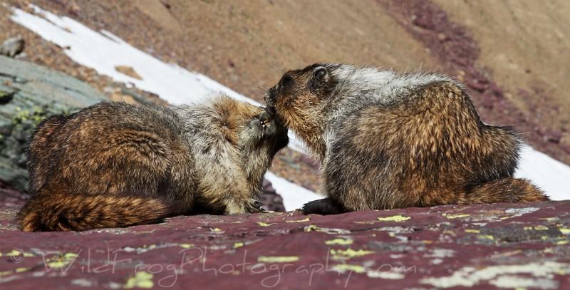 Marmot,West Glacier