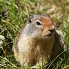 Ground Squirrel - Logan Pass