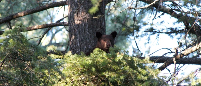 Black bear cub - Flathead Lake - Montana