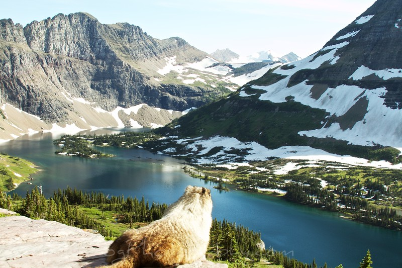Marmot-All Mine - Glacier National park