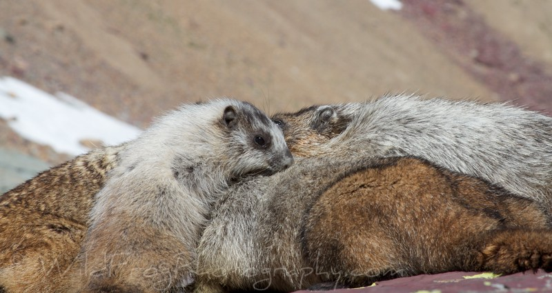 Marmot Family Time