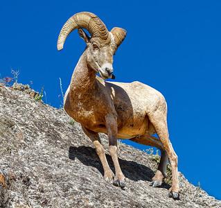 Big Horn Sheep, Montana