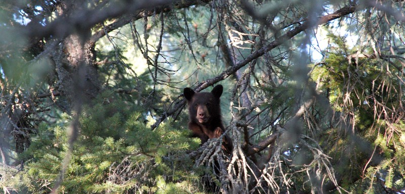 Black bear cub - Flathead lake - Montana