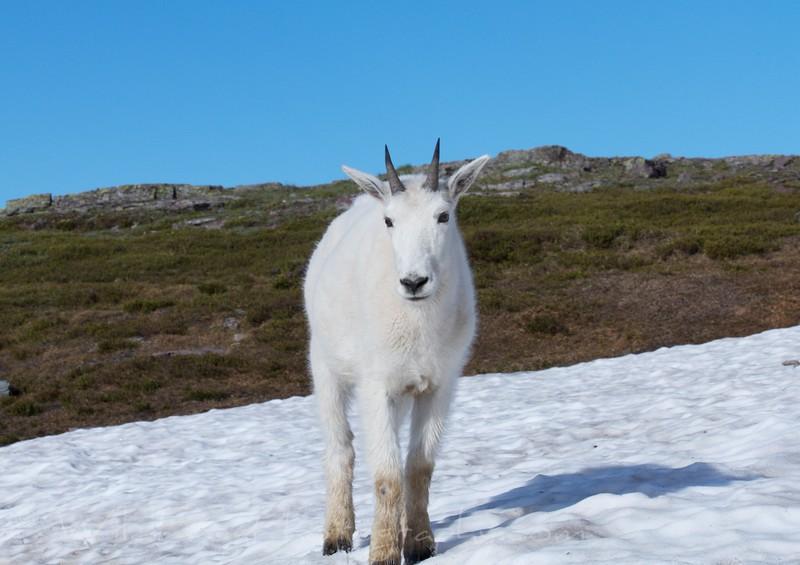 Mountain Goat, East glacier national park