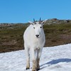 Mountain Goat, East glacier national park