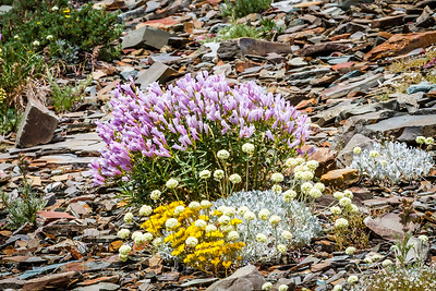 Mountain Flowers - Glacier NP