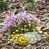 Mountain Flowers - Glacier NP
