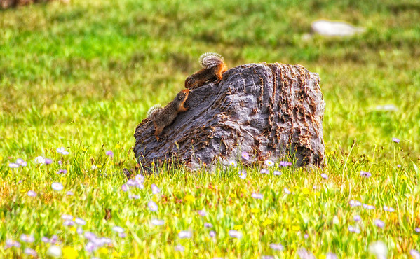 2 Squirrels playing on rock - Glacier National Park