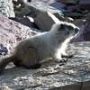 Baby Marmot - Glacier National Park