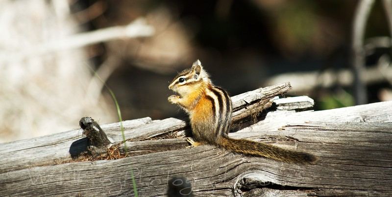 Chipmunk, Many Glacier