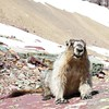 Marmot,West Glacier- Glacier national park