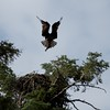 Osprey landing with fish,,Montana