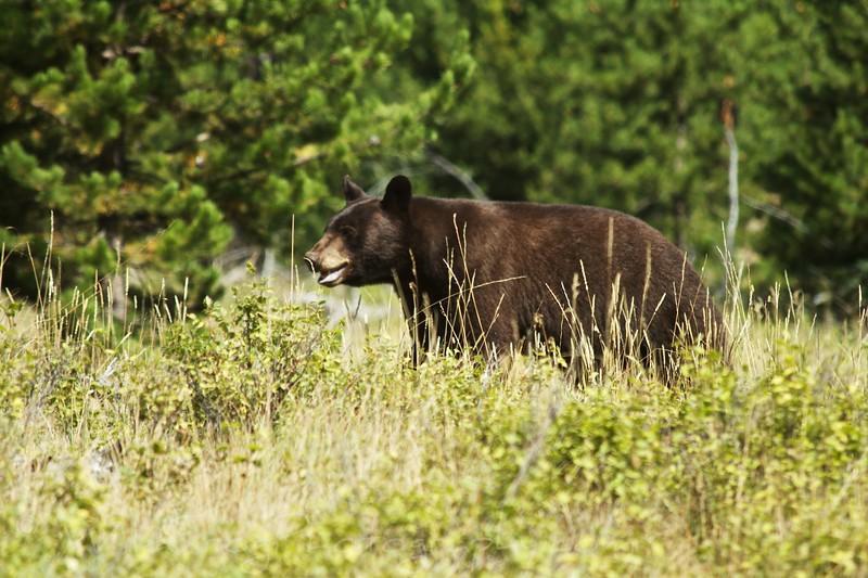Black Bear- West Glacier National Park
