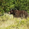 Black Bear- West Glacier National Park