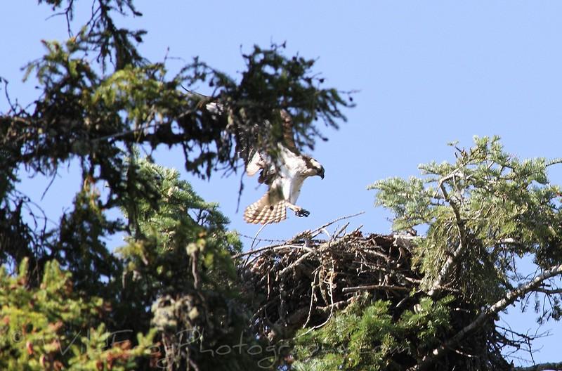 Osprey Landing at Nest,Flathead Lake Montana