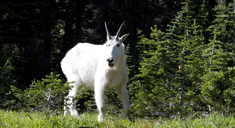 Mountain Goat, Hidden Lake,Glacier National Park