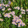 Wild Flowers, Glacier National Park