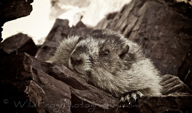 Marmot,Passing the Time
