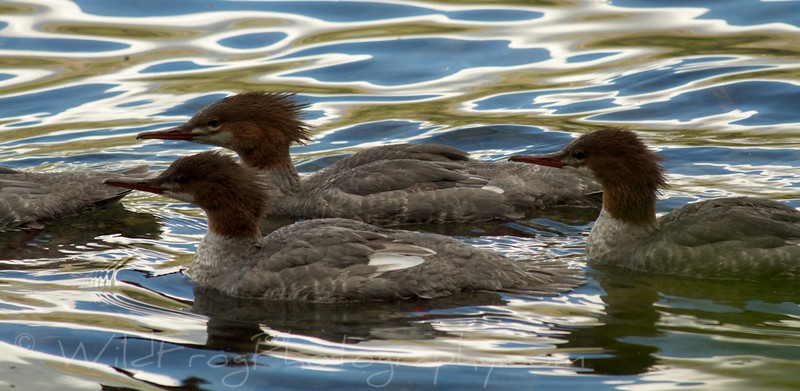 Merganser, West Glacier - Kintla Lake