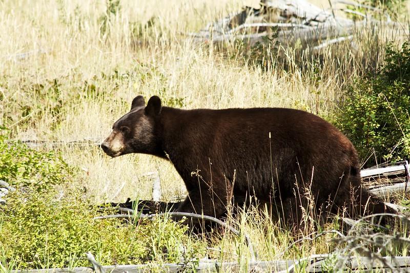 Black Bear on the move - West Glacier NP - Montana