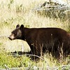 Black Bear on the move - West Glacier NP - Montana