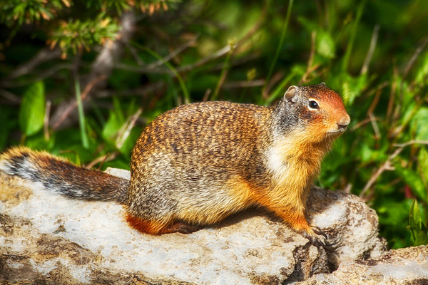 Local Ground Squirrel at Logan pass