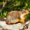 Local Ground Squirrel at Logan pass