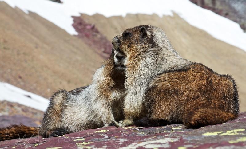 Marmot - Glacier National Park