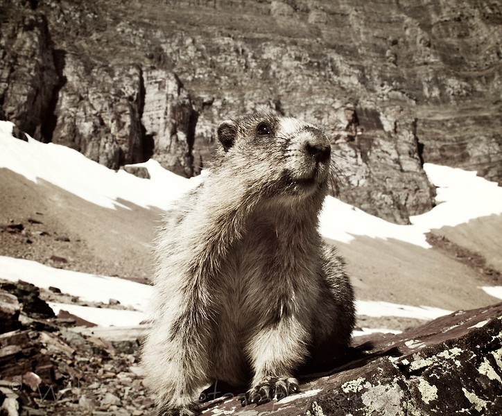 Marmot - Glacier national park